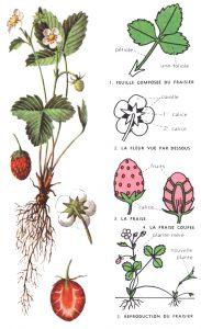 Botanique du fraisier