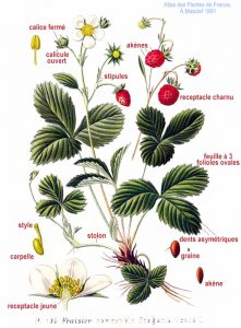 Atlas des plantes de France, A Masclef 1891 Fichier 103 Fragaria vesca L.