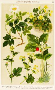 Famille des rosacées (Rosaceae)