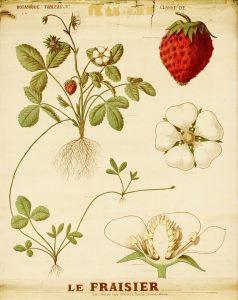 Tableau de classe - Botanique du Fraisier